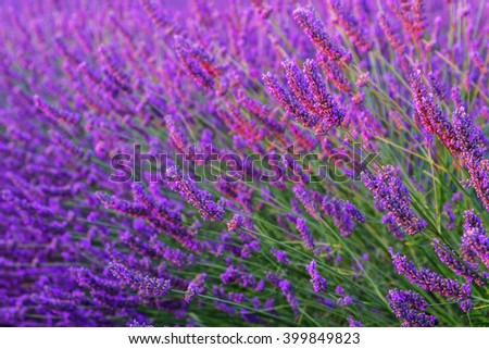 Beautiful colors purple lavender fields near Valensole, Provence in France - stock photo