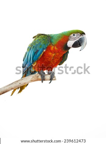 Beautiful colourful parrot sitting on the perch. Blue, green, white, yellow, red and orange Macaw, Ara Ararauna, beautiful bird. White background. Close-up of pretty lorikeet. - stock photo