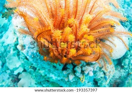Beautiful coral reef in Anilao, Philippine. - stock photo