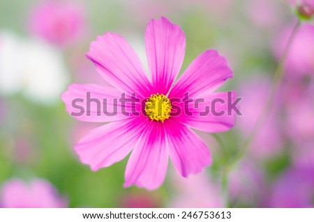 Beautiful Cosmos Flower - stock photo