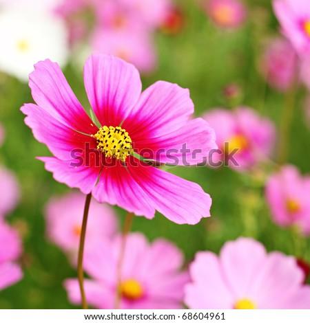 Beautiful Cosmos Flower - stock photo