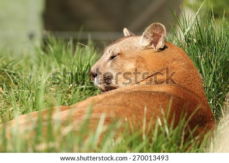beautiful cougar portrait at the zoo ( Puma concolor ) - stock photo