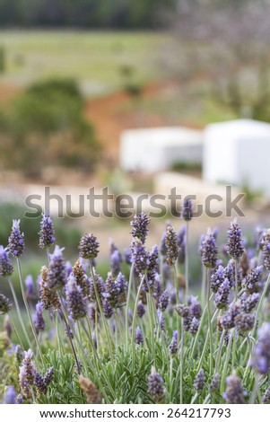 Beautiful countryside landscape with rosemary flowers and the typical  Ibiza country home in spring, Ibiza, Balearic Islands, Spain, in a beautiful blue sky day. - stock photo