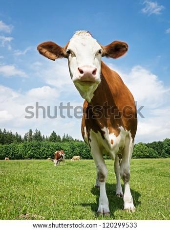 beautiful cow at a farm near vienna - stock photo