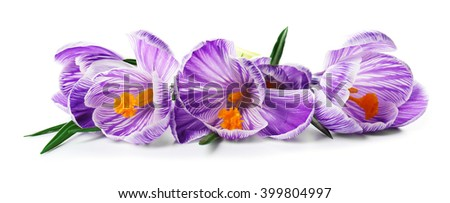 Beautiful crocus flowers isolated on white - stock photo