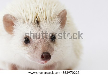 beautiful cute and sweet small young rodent pet african pygmy hedgehog baby color : brown white pinto - stock photo