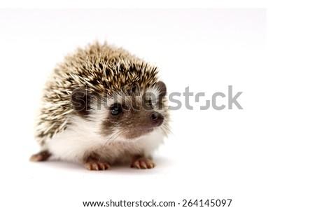 beautiful cute black hedgehog baby rodent atelerix albiventris - stock photo