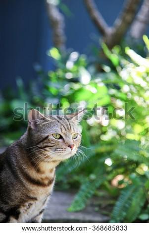 Beautiful Cute Cat Brown American Shorthair,Close-up face - stock photo
