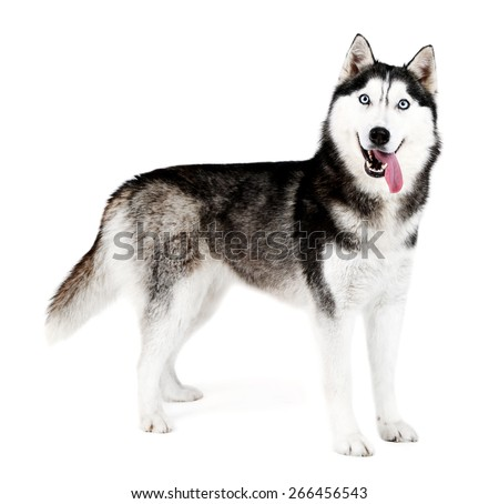 Beautiful cute husky, isolated on white - stock photo
