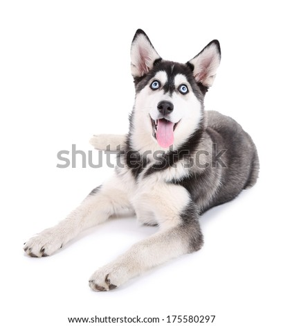 Beautiful cute husky puppy, isolated on white - stock photo