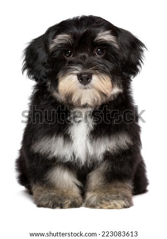 Beautiful cute little havanese puppy dog is sitting frontal and looking at camera, isolated on white background - stock photo