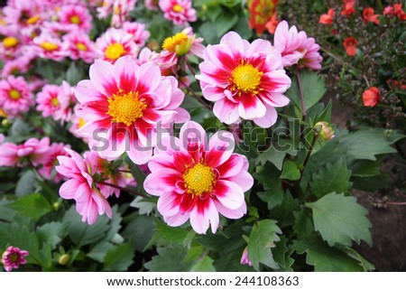 Beautiful dahlia blossom in the garden  - stock photo