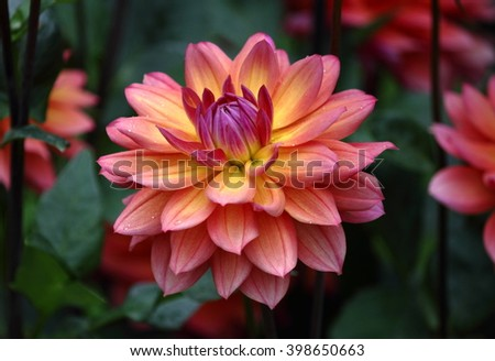 Beautiful Dahlia Flower in Yellow Orange Pink - stock photo