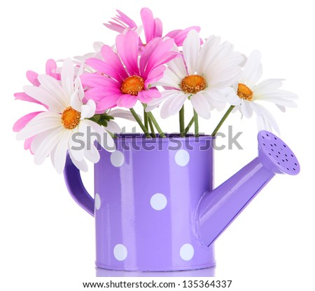 Beautiful daisies in colorful watering can isolated on white - stock photo