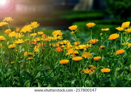 beautiful daisy flower field - stock photo