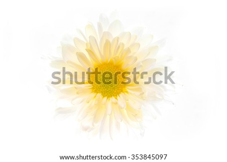 Beautiful daisy flower on the white background - stock photo