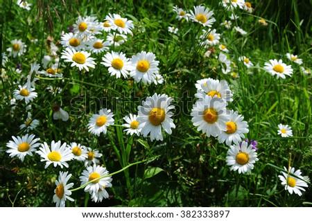 Beautiful daisy flowers - stock photo