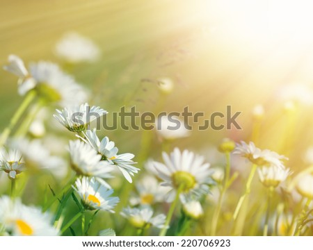 Beautiful daisy flowers bathed in sunlight - stock photo