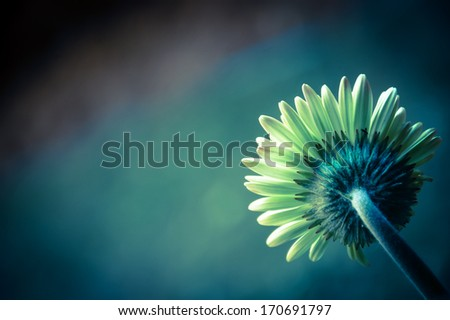 Beautiful daisy or gerbera background. Back view. Cross process. Shadowed angles. - stock photo