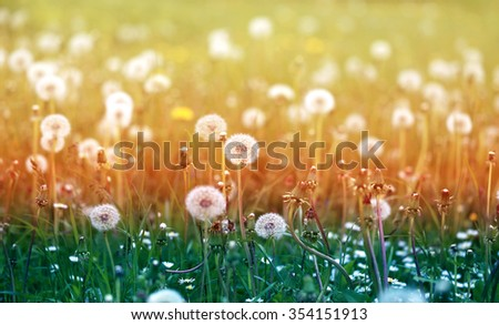 Beautiful dandelion flower photographed close up on colorful background - stock photo