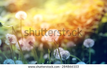 Beautiful dandelion flowers on a background of grass photographed close up - stock photo