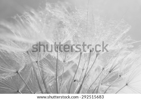 Beautiful dandelion with seeds, macro view - stock photo
