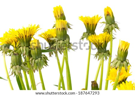 beautiful dandelions on a white background - stock photo