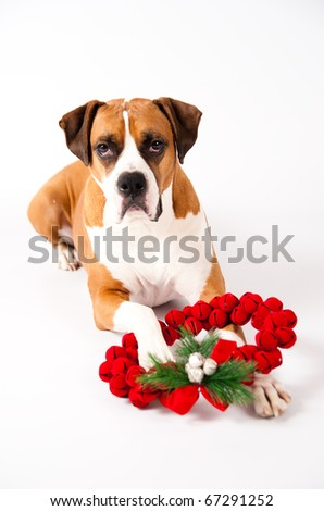 Beautiful Dark Fawn Boxer Mix Dog With Christmas Wreath Made of Red Bells - stock photo
