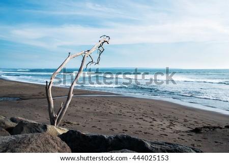 Beautiful dark sand beach with dead tree, beach landscape - stock photo