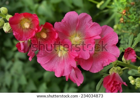 Beautiful decorating hollyhock flowers /Althaea officinalis/  in the garden         - stock photo