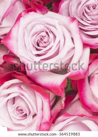 beautiful delicate fragrant flowers pink roses with unusual bright saturated edges of the petals - stock photo