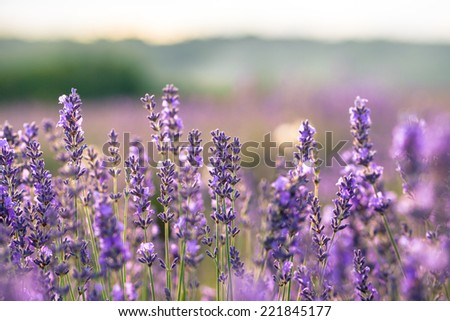 Beautiful detail of scented lavender field in perfect radiant morning light.  - stock photo