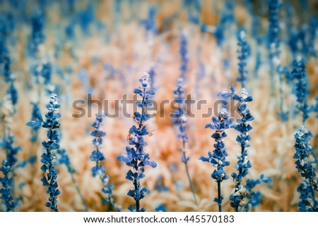 Beautiful detail of scented lavender flowers field - stock photo