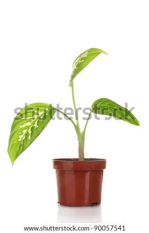 beautiful Dieffenbachia in flowerpot isolated on white - stock photo