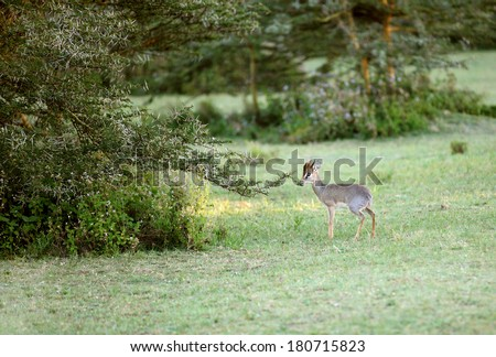 Beautiful Dik Dik antelope near a Acacia tree - stock photo