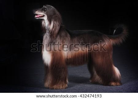 beautiful dog Afghan hound standing in show position