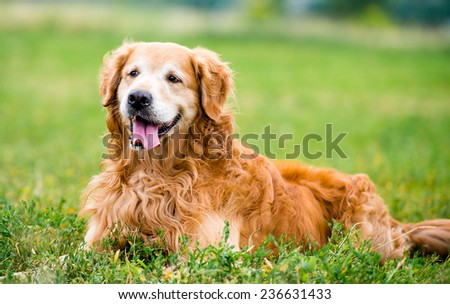 beautiful dog breed golden retriever in the grass - stock photo