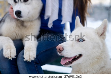 Beautiful dog breed Siberian Husky photographed in Siberia in the winter with blue eyes. - stock photo