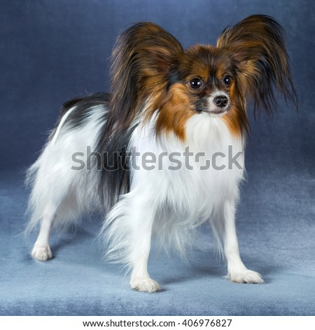 Beautiful dog breeds Papillon standing on a blue background - stock photo