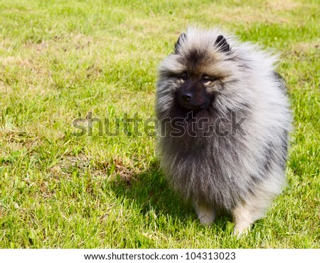 Beautiful Dog Keeshond - stock photo
