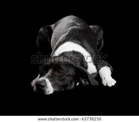 Beautiful dog lying on the floor with a sad look, isolated on black - stock photo