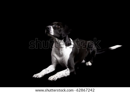 Beautiful dog lying on the floor with and looking upwards, isolated on black - stock photo