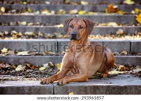 Beautiful dog lying on the stone steps - stock photo