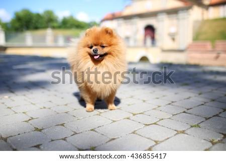 Beautiful dog. Pomeranian dog near castle. Dog on a walk - stock photo