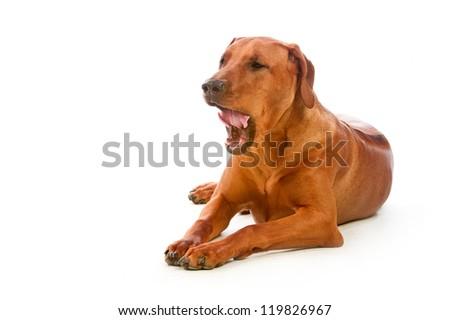 Beautiful dog rhodesian ridgeback lying isolalted on white - stock photo