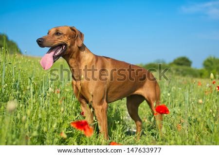 Beautiful dog rhodesian ridgeback puppy in a field of flowers - stock photo
