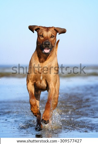 Beautiful dog running on water - stock photo