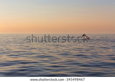 beautiful dolphin jumped from sunset sea near Rovinj, Croatia - stock photo