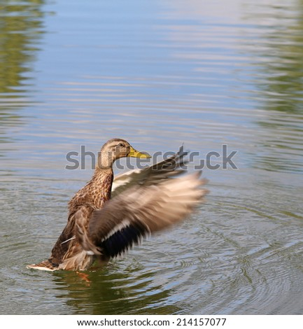 Beautiful Duck on the water - stock photo