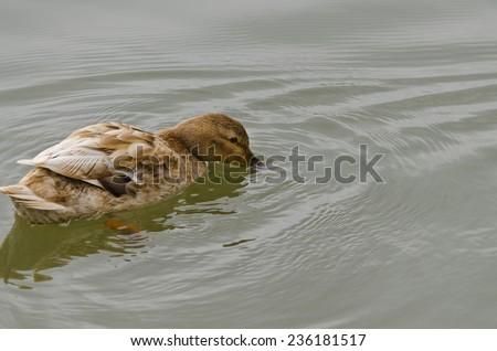 Beautiful Duck swimming and resting in the lake - stock photo
